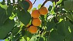 الجهة الشرقية : اهتمام خاص بتطوير قطاع انتاج فاكهة المشمش